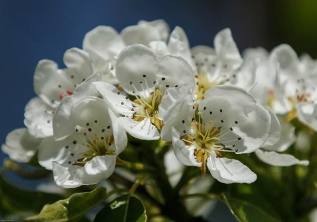Blommande fruktträd-2