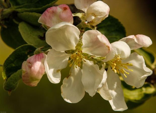 Blommande fruktträd-3