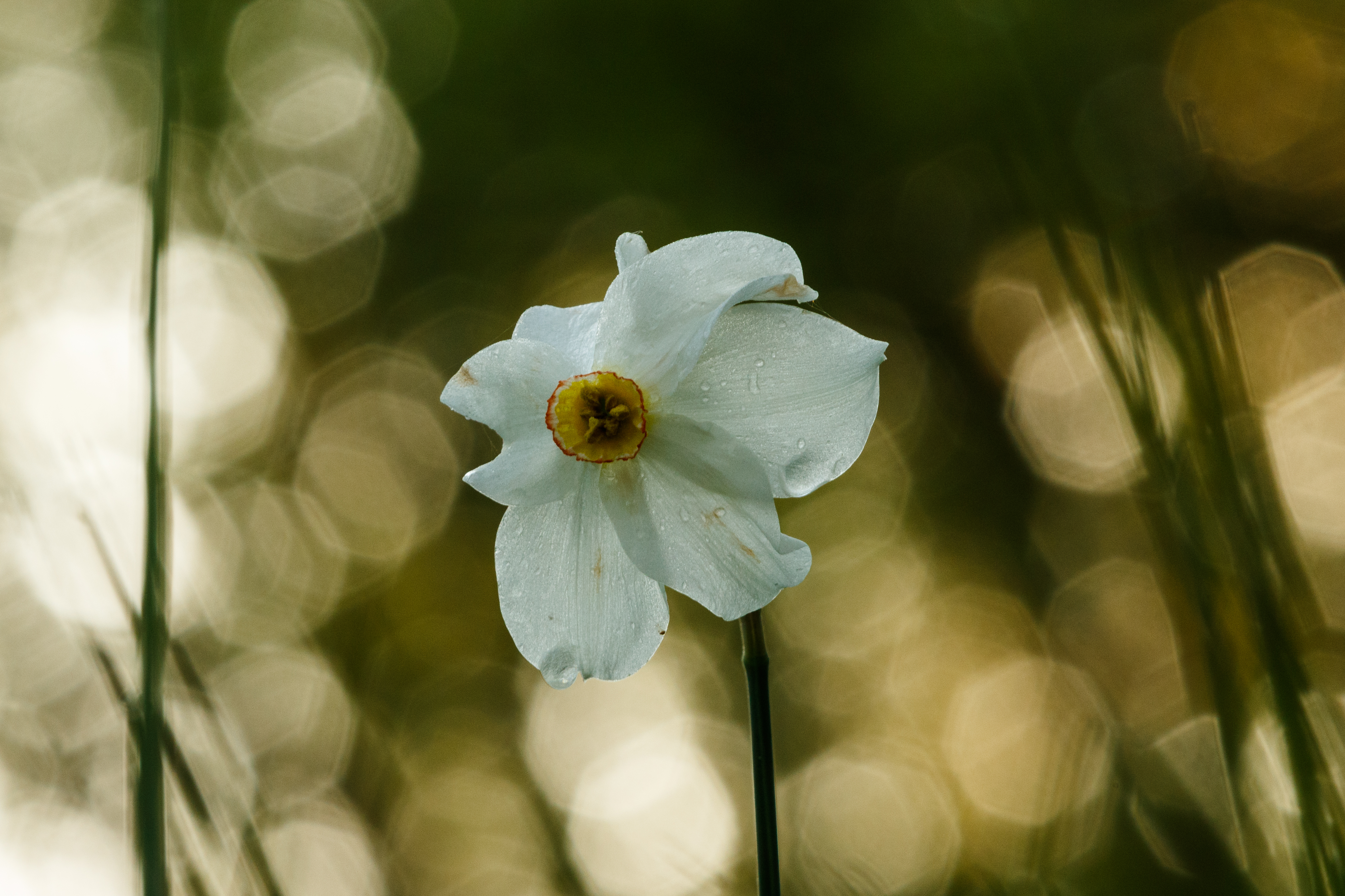 Narcissai motljus